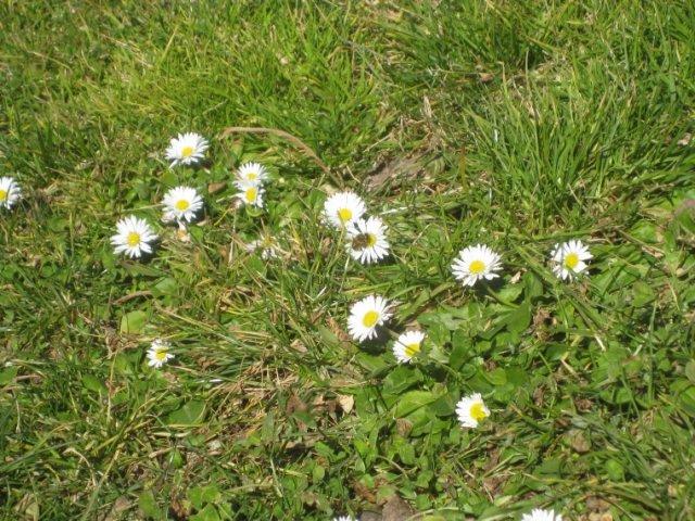 Päivänkakkaramaisia kukkia ja mehiläinen nurmikolla Madridissa.