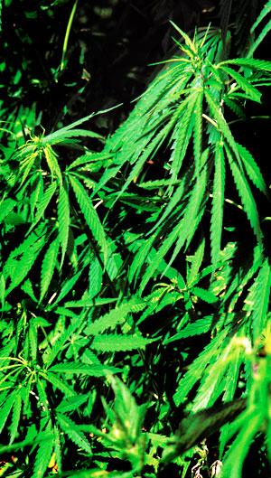 Tsekki Kannabis
