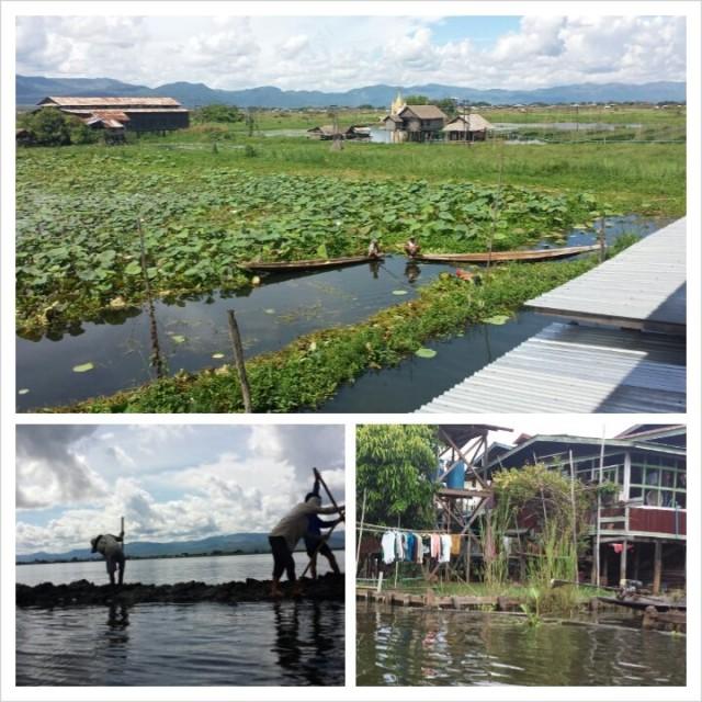 Lootuskukkaviljelmä Inle järvellä Burmassa / Myanmarissa.