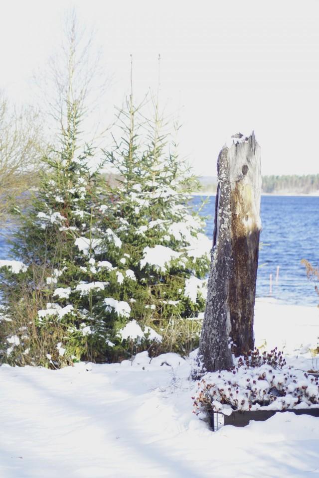 Tämä puu katkesi muutama vuosi takaperin ja latva raapaisi ilkeästi talon päätyä.