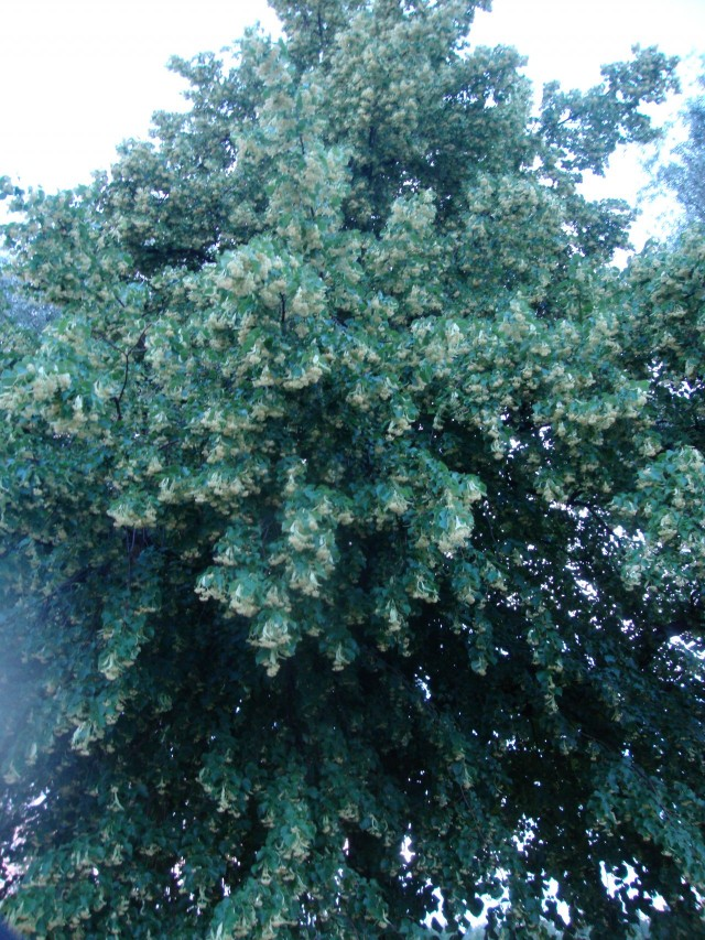 Kaksi vanhaa puuta sateen pieksämää. Katsoo kevääseen, seisoo erillään. Ja kestää joka tuulen ja sään