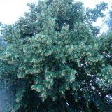 Kaksi vanhaa puuta sateen pieksämää. Katsoo kevääseen, seisoo erillään. Ja kestää joka tuulen ja sään.
