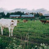 Viikin lehmät