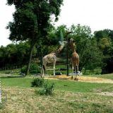 Eläintarhassa oli suloisia kirahveja, jotka tallustelivat safarilla suoraan autojen välistä.