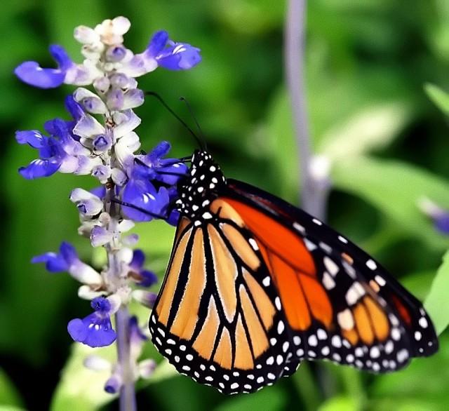 Perhonen lentää, mutta delfiinin ja perhosen risteytys ei pääse paljoa pintaa ylemmäs.