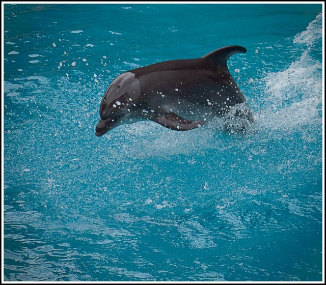 Delfiini ui pinnan päällä pelkällä pyrstöllään. Siihen ei kovin moni ihminen pysty.
