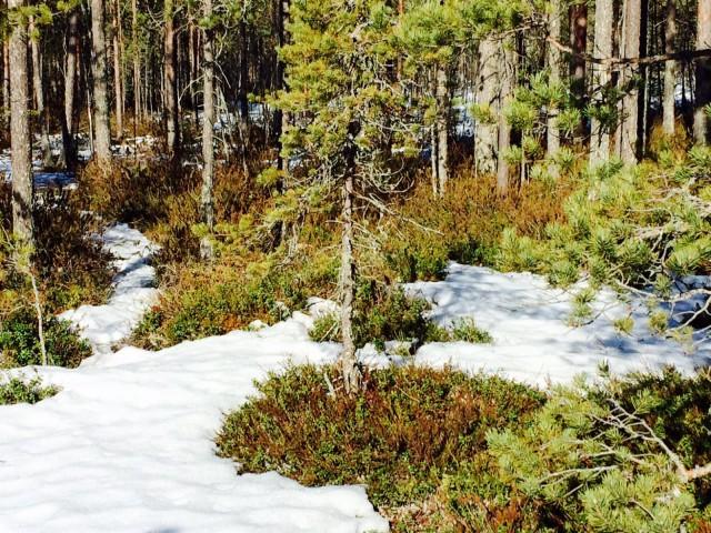 Luonnossa talvi ja kevät kohtaavat.