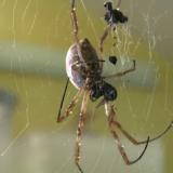 Australiassa satoi hämähäkkejä