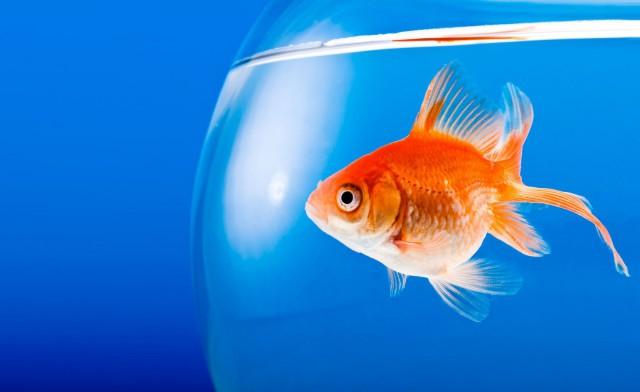 Kultakalan keskittymiskyky on parempi kuin ihmisen for Boccia pesci