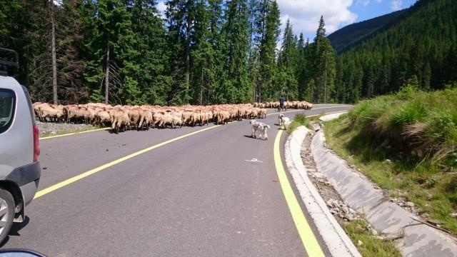 Romanian teillä törmäsimme lampaisiin, aaseihin, hevosiin, lehmiin, kanoihin ja jopa kalkkunoihin. Usein myös kulkukoirat juoksentelivat miten sattuu.