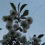 Koristehedelmäpensaan kukkia