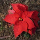 Joulun kukka