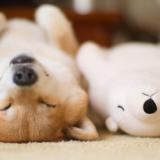 Suloinen koira nukahtaa aina samaan asentoon kuin lempipehmolelunsa
