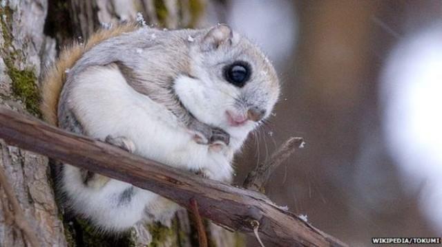 Liito-orava (kuva: Wikipedia/Tokumi)