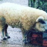 Pörröinen kuin lammas, kesy kuin koira – mikä ihme se on?