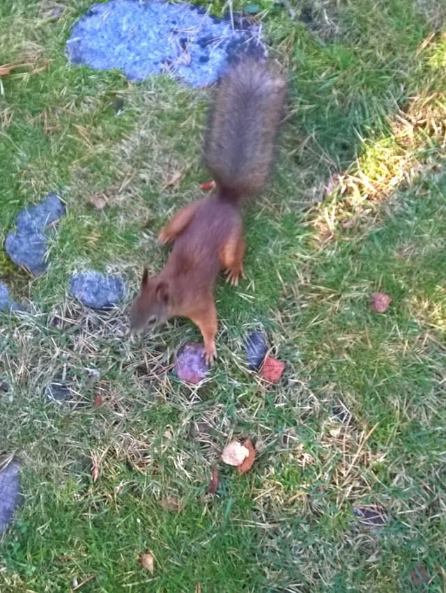 Kotikorttelissani voin seurata vaikka oravien puuhia.