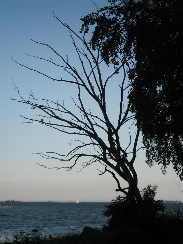 Kaikki puut eivät lehteile kesällä.