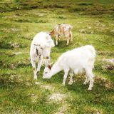 Tadžikkien lampaat laiduntavat vapaina Tashkurganissa ja silkkitiellä