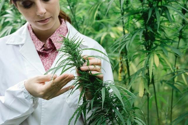 Kannabis on riippuvuuspotentiaaliltaan kahvin luokkaa, jopa hieman miedompi: https://www.thl.fi/fi/web/alkoholi-tupakka-ja-riippuvuudet/ehkaiseva-paihdetyo/keskeiset-kasitteet/paihteiden-riippuvuus-vertailu