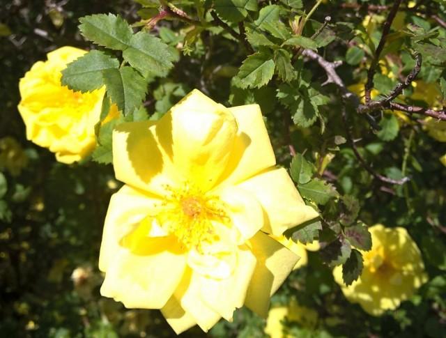 Keltaiset ruusut ovat kauniita