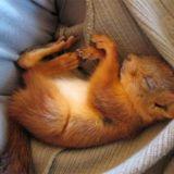 Suomalainen perhe löysi haavoittuneen oravanpoikasen, joka ei enää parannuttuaan halunnut jättää pelastajiaan