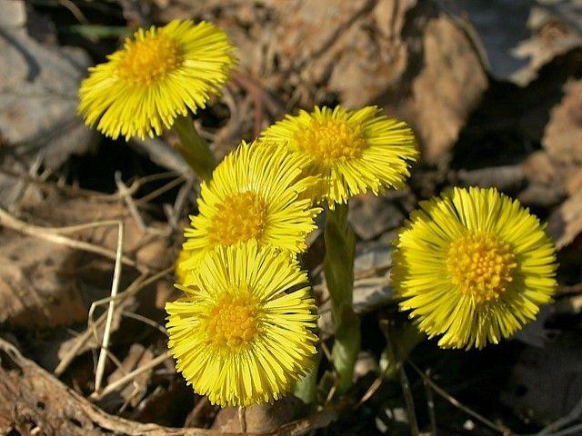 Ihana kevät tulee! Pian on rohtokasvi leskenlehteä tienpientareet täynnä.