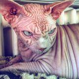 Tämä kissa näyttää ihan superpahikselta, joka suunnittelee maailmanvalloitusta