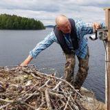 WWF:n luontolivessä seurataan nyt sääksipoikueen elämää