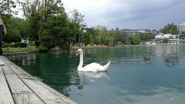 Bledin kaupunki on kompakti ja siellä on paljon turistiystävällisiä ravintoloita. Järvellä voi bongata myös joutsenia.