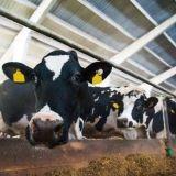 Lehmän utareessa on roikuttu vuosikausia – Makutottumukset paskaksi kasvipohjaisella vaihtoehdolla
