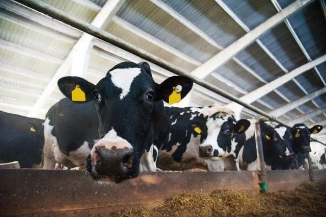 Makutottumusten hinta on kova, kun ottaa huomioon tehotuotantoeläinten olot.