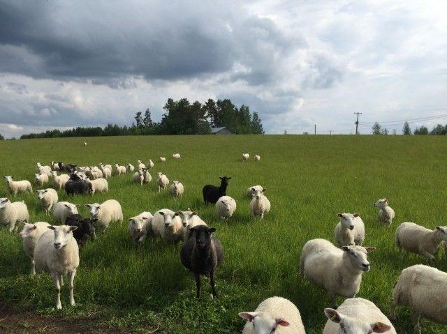 David Alberti ja Anya Sivkova käyvät henkilökohtaisesti maatiloilla varmistamassa, että eläimillä on hyvät oltavat. Kuva lammastilalta Lohilahdelta.