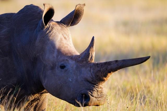 Selkärankaisten villieläinten määrä on romahtanut lähes 60 prosentilla reilun 40 vuoden aikana. Suurin syy siihen on se, että me ihmiset olemme ajattelemattomuuttamme tai ahneuttamme vieneet niiltä elintilan. Kuvassa isosarvikuono