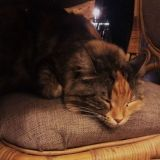 Helkatissa kunnioitetaan kissojen lepohetkiä, eikä nukkuvia kissoja ole lupa herättää. Kuvassa torkkuu Tuli.