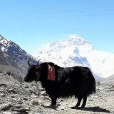 Jakkihärkä Tiibetissä. Taustalla maailman korkein vuori Mount Everest.