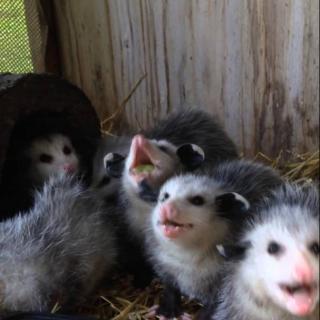 Kuka olisi arvannut, että opossumin poikaset ovat näin ihania!