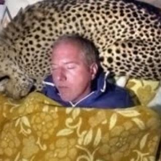 Eläintieteilijä käyttää gepardia tyynynä